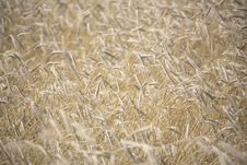 Free Wheat Field Royalty Free Stock Images - 5694399
