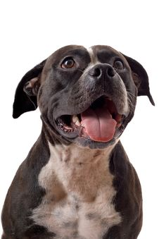 Free Portrait Of The American Staffordshire Terrier Royalty Free Stock Photos - 5694418