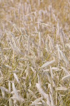 Free Golden Wheat Field Stock Photos - 5694503
