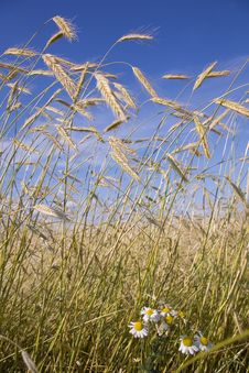 Free Golden Wheat Field Royalty Free Stock Images - 5694639