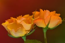Free Two Yellow Roses Stock Photo - 5694650