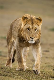 Free Young Male Lion Stock Photos - 5694993