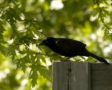 Free Grackle Royalty Free Stock Photo - 5695835
