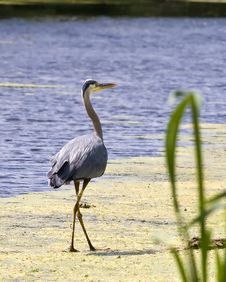 Free Heron Stock Photography - 5695852
