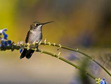 Free Female Ruby-throated Hummingbird Stock Image - 5695911