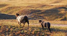 Free Dark Sheep Royalty Free Stock Photos - 5695948