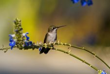 Free Female Ruby-throated Hummingbird Royalty Free Stock Photo - 5695955