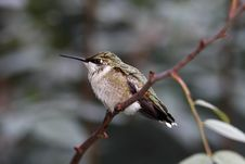 Free Female Ruby-throated Hummingbird Stock Image - 5696011