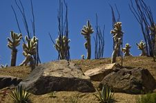 Free Cholla On The Hillside Stock Image - 5696051