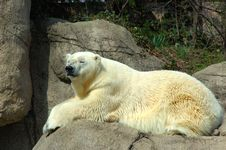 Free Polar Bear Royalty Free Stock Photos - 5696458