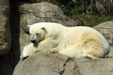 Free Polar Bear Stock Photos - 5696523