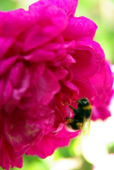Free The Bumblebee And The Flower Royalty Free Stock Photo - 5696785