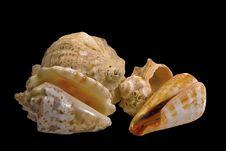 Free Sea Shell Royalty Free Stock Photos - 5697408