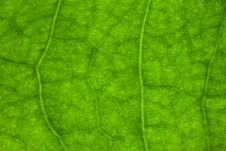 Free Macro Leaf Veins Royalty Free Stock Photo - 5698005