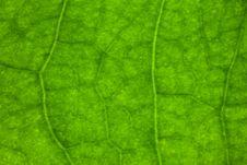 Free Macro Leaf Veins Royalty Free Stock Photo - 5698005