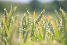 Free Field Of Wheat Stock Images - 5698754