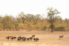 Free Migration Of Wildebeest Stock Photography - 5698902