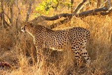 Free Cheetah On A Kill Stock Images - 5698994