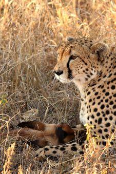 Free Cheetah On A Kill Royalty Free Stock Images - 5699019