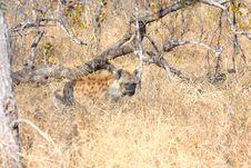 Free Hyena In Sabi Sands Royalty Free Stock Photos - 5699218