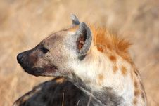 Free Hyena In Sabi Sands Stock Image - 5699221