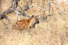 Free Hyena In Sabi Sands Stock Photo - 5699320