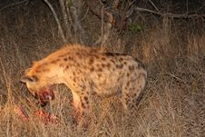 Free Hyena On A Kill In Sabi Sands Stock Images - 5699334