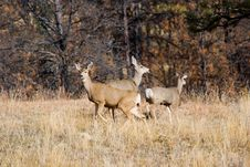 Free Mule Deer Royalty Free Stock Photography - 5699397