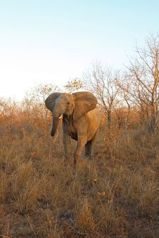 Free Elephant In Sabi Sands Royalty Free Stock Image - 5699476