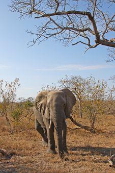 Free Elephant In Sabi Sands Stock Image - 5699551