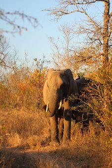 Free Elephant In Sabi Sands Stock Photos - 5699623