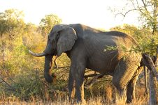 Free Elephant In Sabi Sands Royalty Free Stock Photos - 5699668