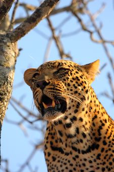 Free Leopard In A Tree Stock Photo - 5699760