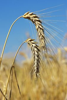 Free Spikes Of The Wheat . Royalty Free Stock Photo - 5699785