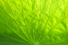 Free Lotus Leaf Stock Photography - 5699932