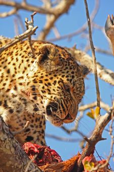 Free Leopard In A Tree With Kill Stock Photos - 5699933
