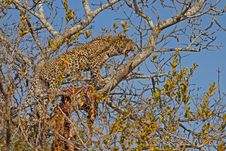 Free Leopard In A Tree With Kill Stock Images - 5699954
