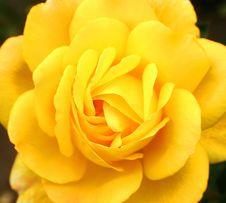 Free Yellow Rose Royalty Free Stock Image - 570906