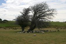 Free Sheep Under Tree Stock Photography - 571002