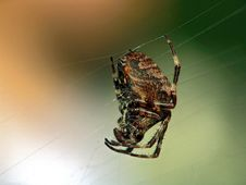 Free Spider Of Family Argiopidae. Stock Photography - 571162