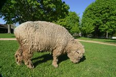 Free A Grazing Wooley Sheep On A Spring Afternoon Royalty Free Stock Images - 571309