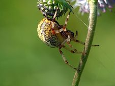 Free Spider Of Family Argiopidae On A Flower. Royalty Free Stock Image - 571436