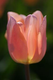 Free Pink Tulip Stock Image - 573451