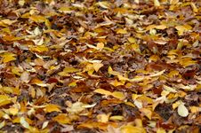 Free Autumn Leaves Royalty Free Stock Images - 573539