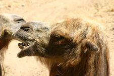 Free A Camel Head In Profile Royalty Free Stock Photos - 573758