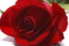 Free Rose Stock Photos - 573873