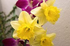 Free Daffodil Close Royalty Free Stock Photography - 574227
