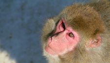 Free Japanese Macaque Stock Photo - 574930