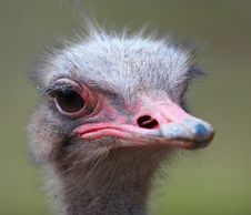 Free Ostrich Head Royalty Free Stock Images - 574999