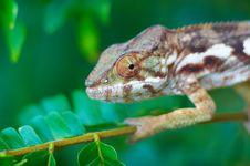 Free Wild Chameleon Royalty Free Stock Photos - 575008